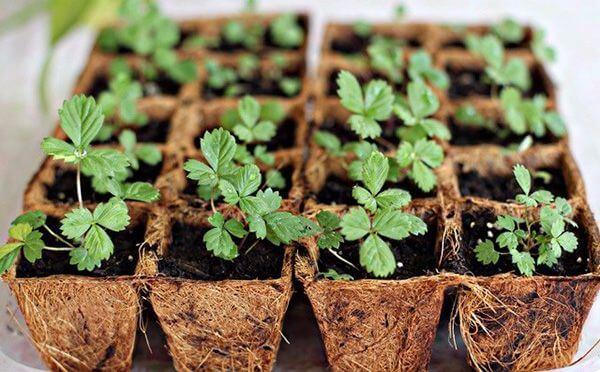 Cách trồng dâu tây hiệu quả cho trái ăn quanh năm
