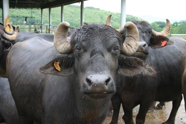 Nguyên nhân, triệu chứng, cách phòng và chữa bệnh tụ huyết trùng trâu bò