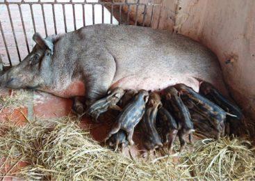 Mô hình trang trại nuôi lợn rừng thu hàng tỉ đồng ai cũng muốn làm theo