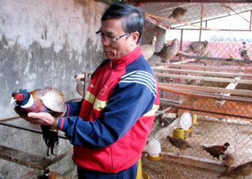 Kỹ thuật nuôi chim trĩ đỏ khoang cổ hiệu quả