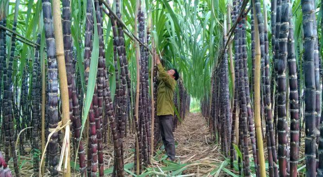 Tầm quan trọng của cây mía – Giá trị kinh tế cao cho người dân