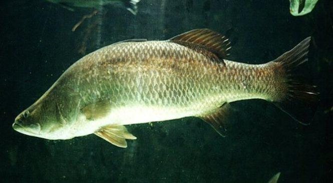 Tìm hiểu kỹ thuật nuôi cá chẽm trong ao đơn giản mà hiệu quả cao